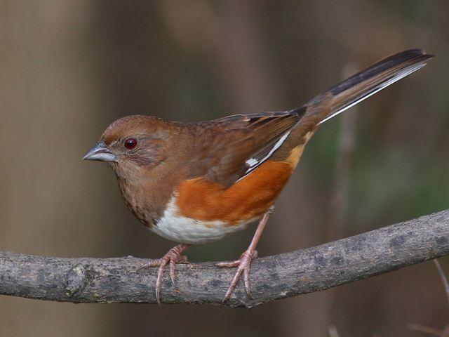Eastern Towhee Female: https://www.carolinabirdclub.org/gallery/Austin/eato.html