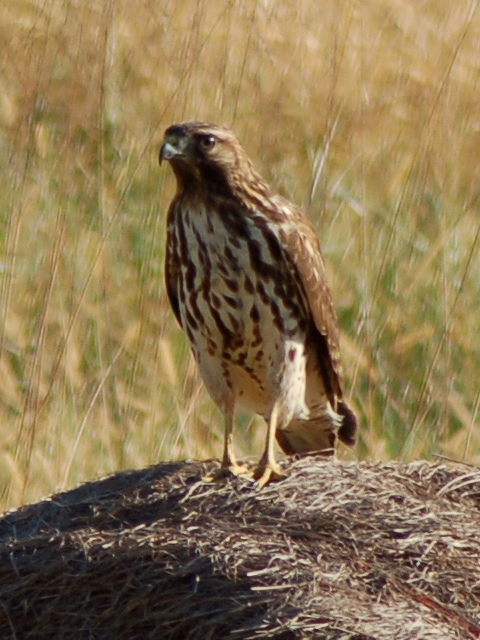 Red Shouldered Hawk Dsc