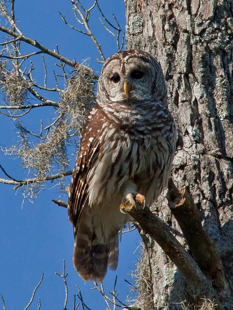 Barred Owl Hq Z