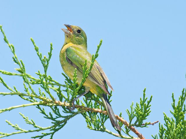 Juvenile painted bunting - photo#7
