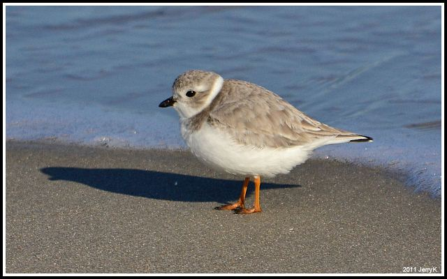 a study of the piping plover A twenty year banding study of the piping plover auk 76(2):128-152 6  for permissions information, contact the illinois natural history survey staff intranet.