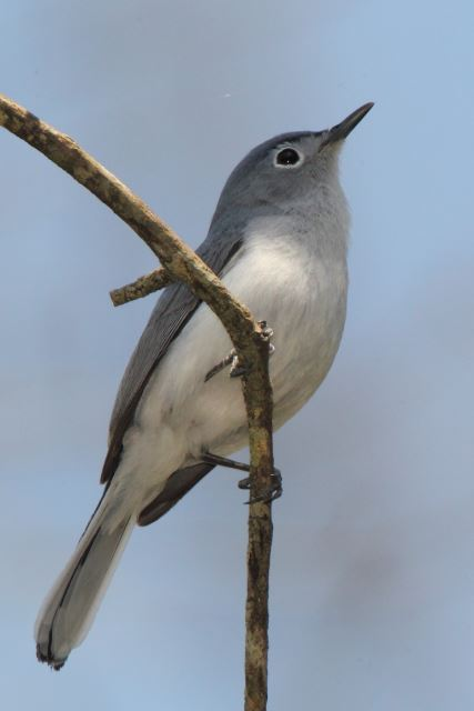 Blue Gray Gnatcatcher A Bggnatcatcher