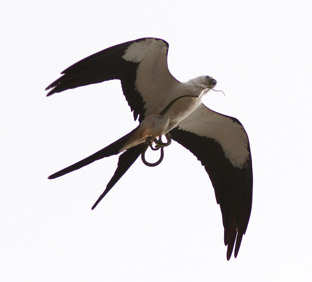 Image result for swallow tailed kite free image
