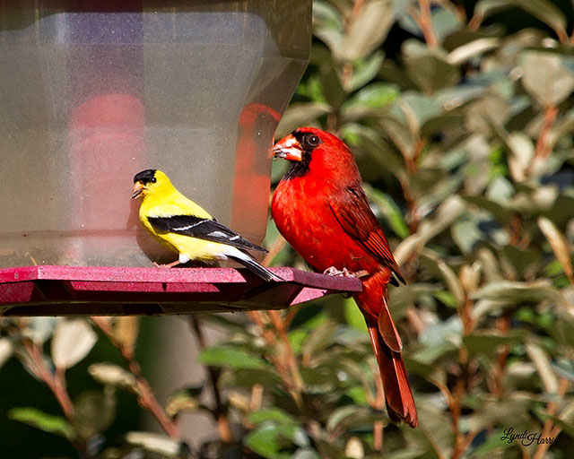 Northern Cardinal And American Goldfinch