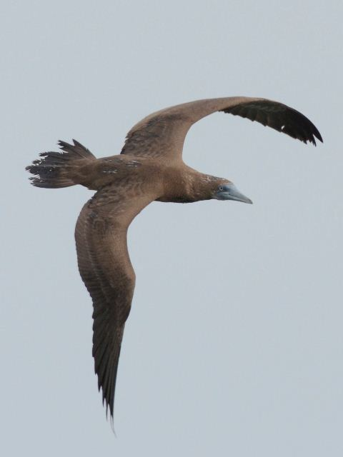 Brown booby immature - photo#10