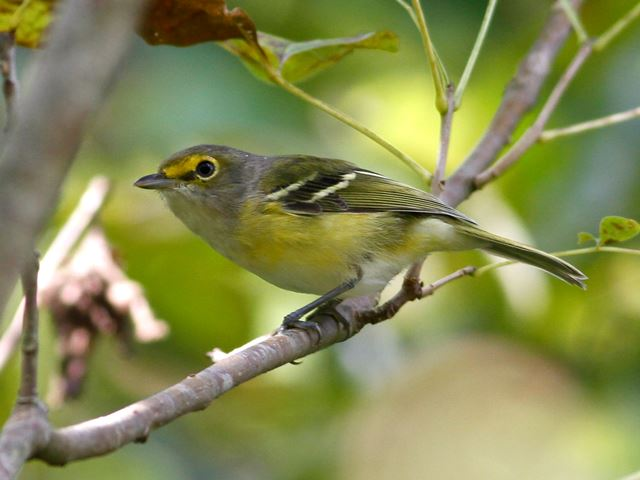 Vireo - photo#23