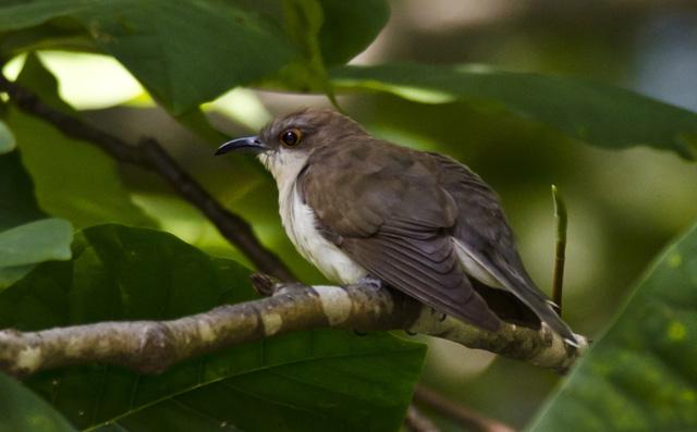 Black cuckoo bird - photo#28