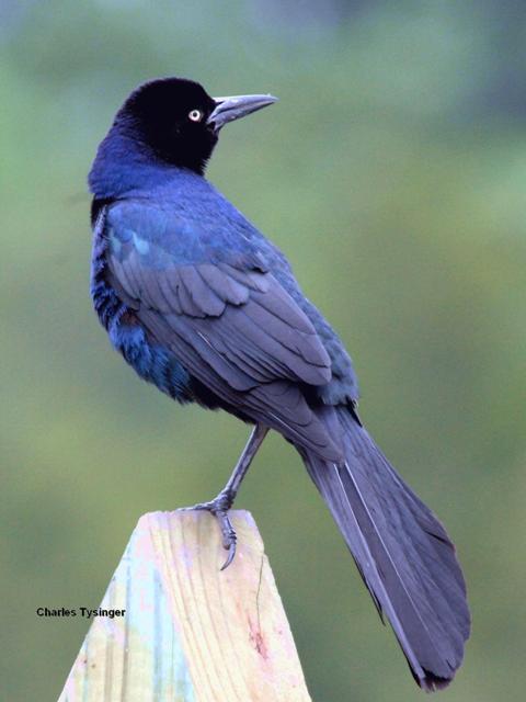 Grackle Bird Call  Grackle Bird Ca...