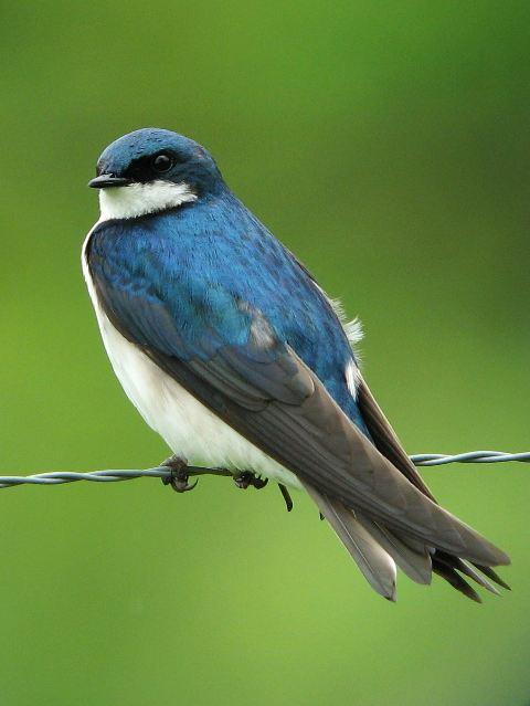 Tree Swallow Bird 49