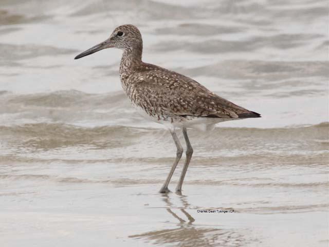 Breeding plumage willet 14 june 2005 bird island nc same bird as