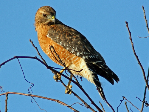 how to draw a red shouldered hawk