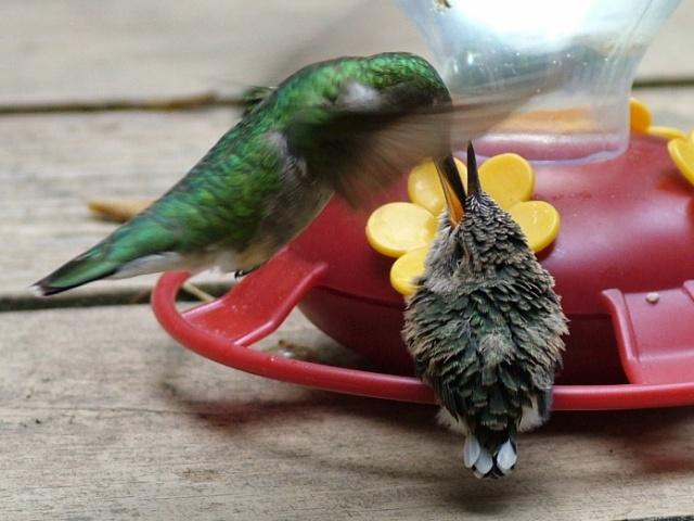Ruby throated hummingbird baby - photo#11