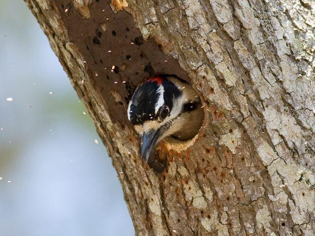 Downy Woodpecker Nest Downy Woodpecker