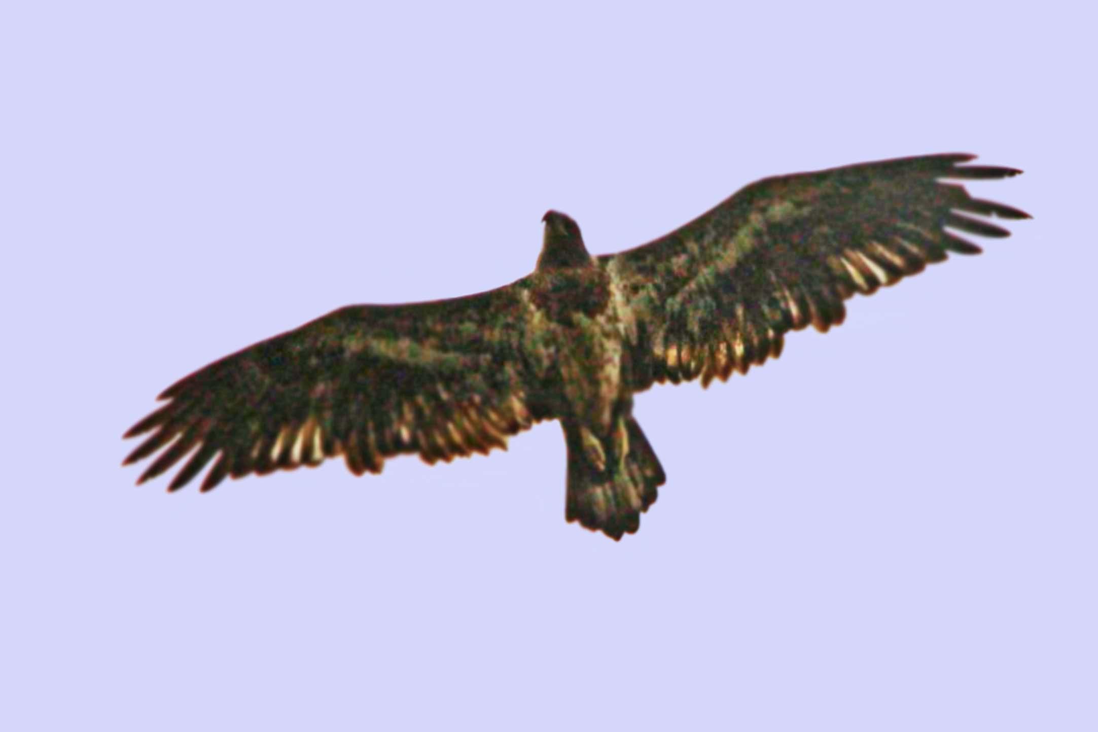 eagle identification
